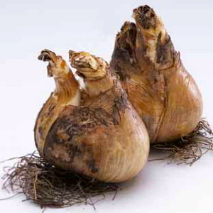 Bulbs are easy to split and grow very quickly.