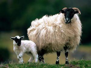 Blackface Sheep Scotland