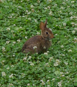 Bunny in my clover.
