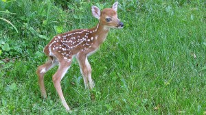 Stock Photo of Fawn.